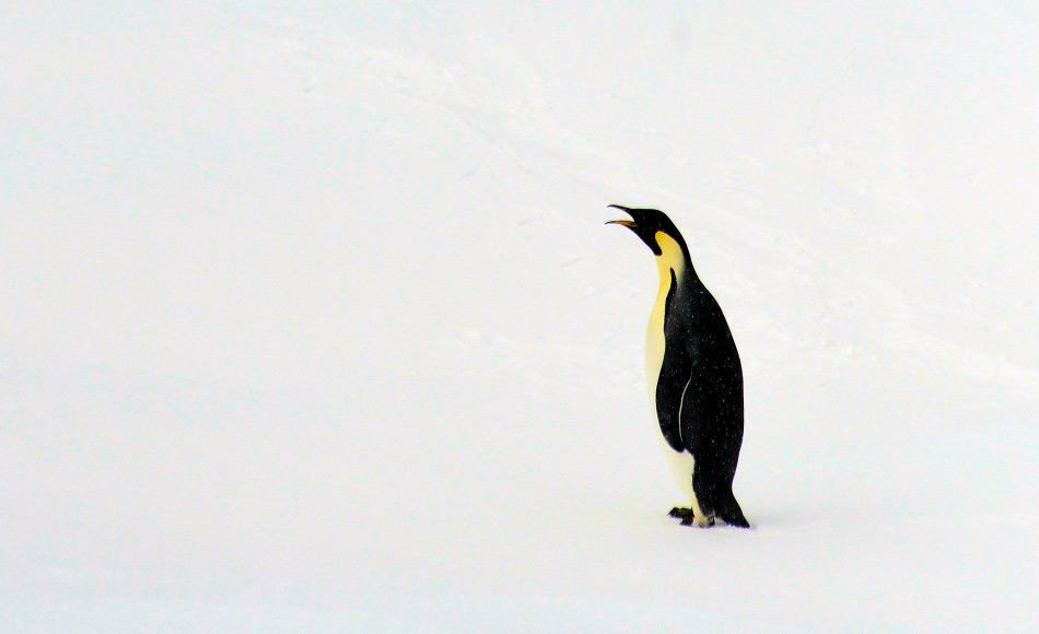 Kaiserpinguine sind die grössten modernen Pinguine heutzutage und können bis zu 120 cm gross werden. Doch ihr Urahn, der jetzt in Neuseeland gefunden wurde, konnte bis zu 150 cm gross werden. Bild: Michael Wenger