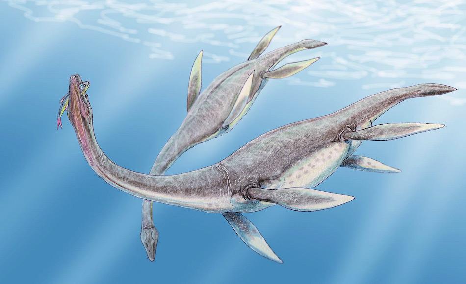 Plesiosaurier beherrschten während 140 Millionen Jahre die Meere. Mit ihren vier Flossen konnten sie sich pfeilschnell fortbewegen und waren trotz ihrer Grösse sehr agile Tiere, dank ihrer beweglichen Wirbelsäule. Bild: Dmitry Bogdanov