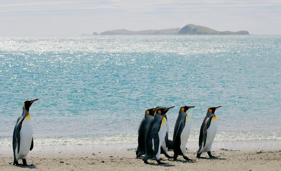 Königspinguine sind die zweitgrösste Pinguinart und leben auf den subantarktischen Inseln des südlichen Ozeans. Sie sind schlanker und leichter als ihre Verwandten, die Kaiserpinguine. Bild: Michael Wenger