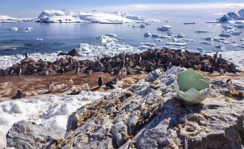 Sowohl Pinguinfedern als auch Eierschalen erlauben Einblicke in die Nahrung der Pinguine und wie sich ihre Umwelt verändert. (Bild: Kelton McMahon)