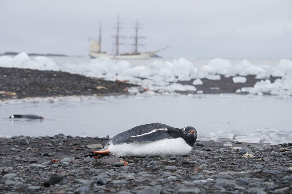 antarktis gentoo