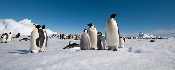 Durch die Klimaerwärmung gehen den Kaiserpinguinen Brutplätze und Nahrung verloren, wenn es nach den Prognosen der Wissenschaft geht.