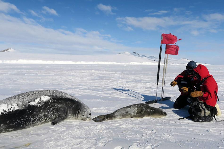 Der Doktorand Terrill Paterson (links) und Forscherin Erika Nunlist (rechts) sammeln Daten einer Robbe und ihres Jungtieres. Die beiden sind Teil einer grösseren Ansammlung von Weddellrobben bei Turtle Rock im McMurdo Sound. Bild: Jay Rotella