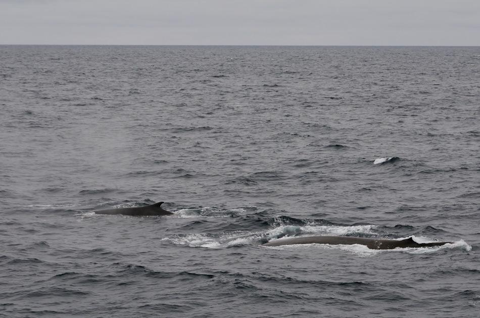 Walarten zu identifizieren wird in erster Linie durch die auffällige Rückenfinne erreicht. Deren verschiedenen Grössen und Formen machen es einfach, zwischen dem Blauwal, dem grössten Tier (rechts) und dem Finnwal, dem zweitgrössten Tier (links) zu unterscheiden. Bild: Michael Wenger