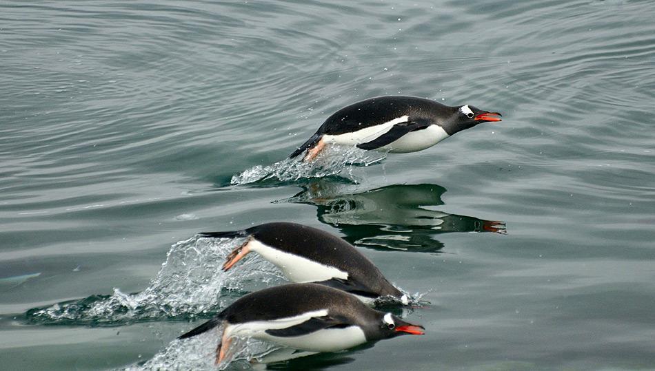 Pinguine fressen vor allem Krill, andere Krebstiere und/oder Fisch, je nach Pinguinart.