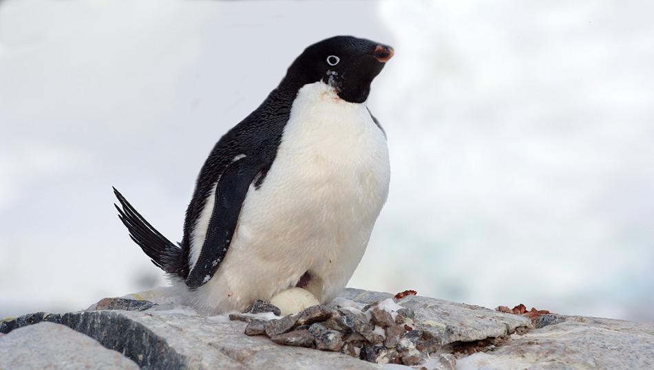 Adéliepinguine brüten auf dem antarktischen Festland. Kaiserpinguine dagegen brüten auf dem Festeis, welches den Kontinenten umgibt. Bild: Katja Riedel