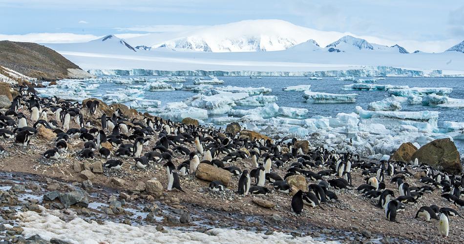 Adéliepinguine waren lange Zeit die einzigen, die auf antarktischem Festland brüten. Doch nun sind Eselspinguine langsam immer weiter nach Süden vorgedrungen und brüten auch auf dem antarktischen Festland. Bild: Katja Riedel