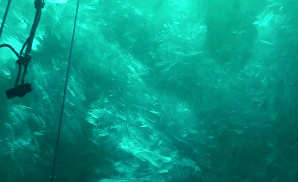 Screenshot einer Unterwasser-Aufnahme der Plättcheneisschicht in der Atkabucht, Weddellmeer, Antarktis. Die Plättchen messen bis zu 20 Zentimeter im Durchmesser. Foto: AWI, Tauchzentrum