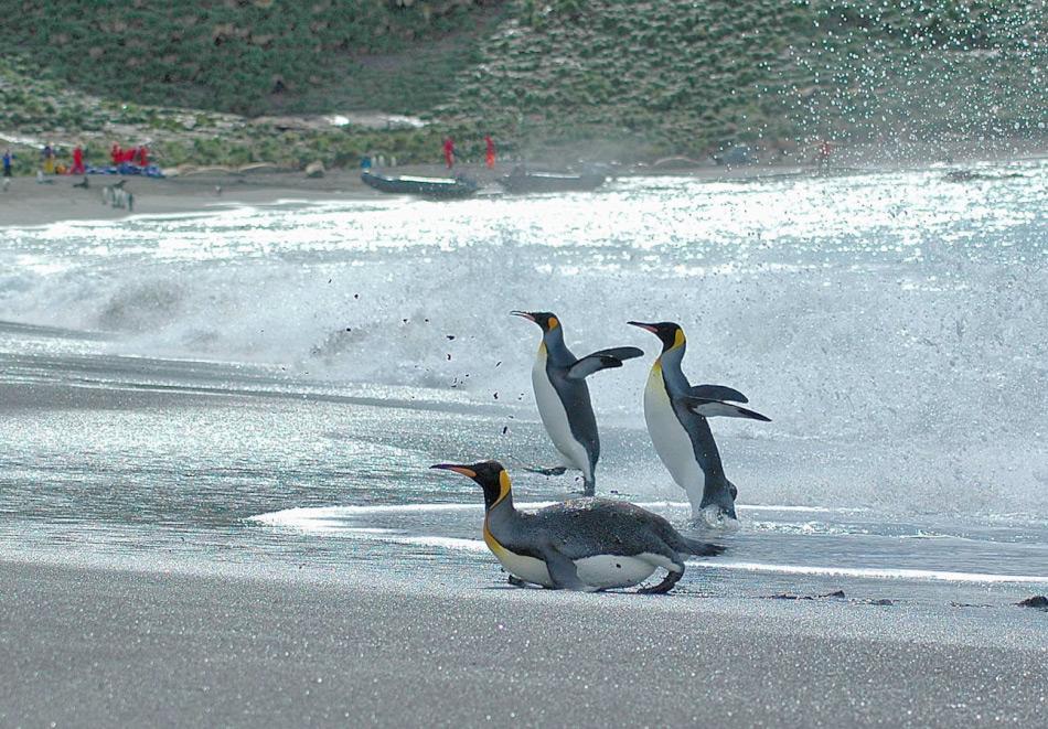 Pinguine verloren ihre Flugfähigkeit weil ihre Nahrungsquellen im Meer leichter zu erschliessen waren, wenn sie ans Wasser angepasst waren, d.h. schwerer und hydrodynamisch geformt. Ausserdem hat wohl die Absenz von Landräubern in ihrem Lebensraum seinen Teil mitbeigetragen. Ähnliches findet sich heute auf Südgeorgien bei den Königspinguinen. Bild: Michael Wenger