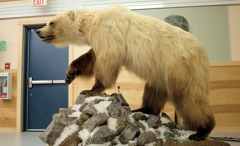 Eisbären sind die grössten Landraubtiere der Erde. Von ihren kleineren Verwandten, den Braunbären, hatten sie sich vor rund 400 – 800'000 Jahren getrennt. Doch immer wieder wird von Hybridbären berichtet, Mischungen zwischen den beiden Arten. Bild: Andrew Derocher