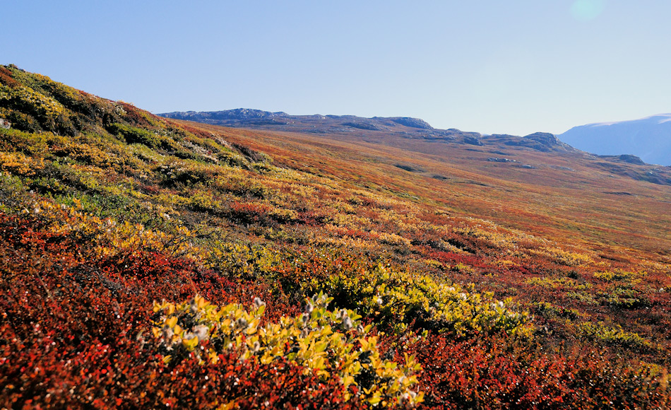 Im Zuge der Klimaerwärmung werden buschige Gehölze wie Polarweiden und Zwergbirken wahrscheinlich die dominierenden Formen. Schon heute wachsen die Weiden in Grönland extensiver als diejenigen in höheren Breiten wie beispielsweise Svalbard. Bild: Michael Wenger