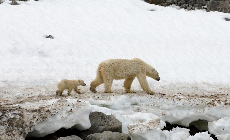 Eisbären verbringen einen Grossteil ihres Lebens auf dem Meereis. Doch gerade Mütter mit ihren Jungen sind häufig an den Küsten auf der Suche nach Nahrung zu finden, wenn die Jungen noch zu klein zum Schwimmen sind. Bild: Michael Wenger