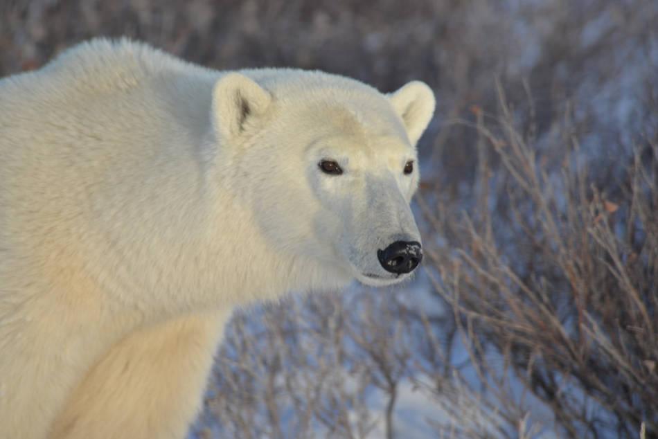 Eisbär, Hund oder Auto? Ein Überwachungsradar soll die Arktisgemeinden über sich nähernde Gefahr warnen. (Bild: Joe Brockmeier / Flickr CC BY 2.0)
