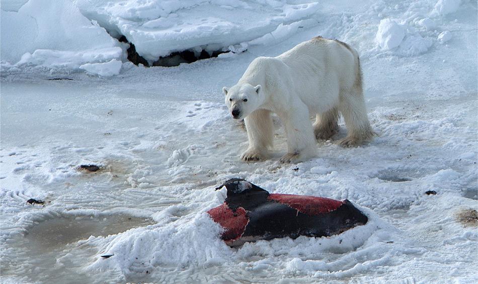 Der Eisbär, der von Aars und seinen Kollegen angetroffen wurde, war ein altes Männchen und klar unterernährt, wie man den sichtbaren Rippen erkennen kann. Der Delfinkadaver war  noch beinahe intakt, nur die wertvolle Speckschicht fehlte.