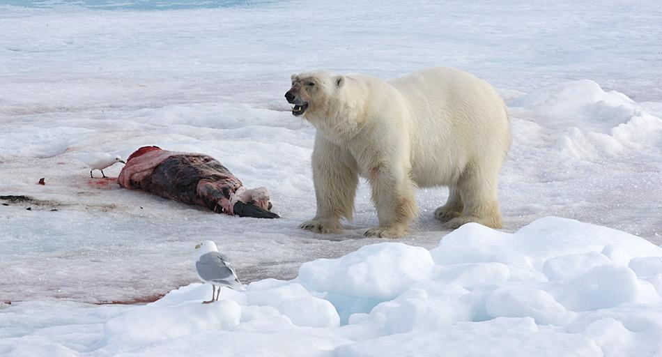 Eisbären finden beim Durchstreifen der Arktis gelegentlich über längere Zeit keine Nahrung. Wenn sie dann mal Jagdglück haben, fressen sie buchstäblich bis zur Erschöpfung.