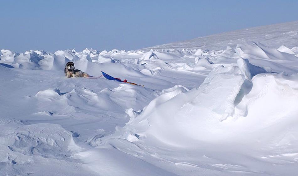 Das Team zog seine Schlitten je selbst und auch Kimnik hatten einen kleinen Schlitten zum Ziehen. Daneben diente der Hund auch als Wache gegen Eisbären, wie es häufig in der Arktis der Fall ist. Foto: Cold Facts